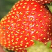 Выращивание рассады клубники, малины, смородины под заказ фото