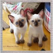 Котята породы меконгский бобтейл фото