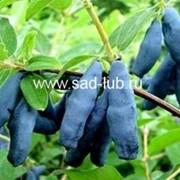 Саженцы жимолости сорт Голубое Веретено фото