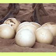 Яйцо страуса фото