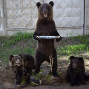 Чучела Три Медведя фото