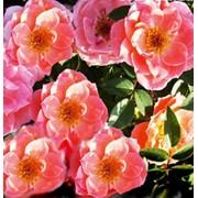 Розы патио сорт Пируэт фото