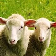 Разведение племенных овец фото
