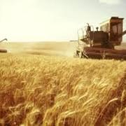 Пшеница разных сортов фото