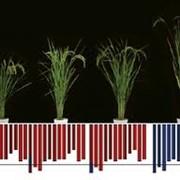 Селекция семян риса фото