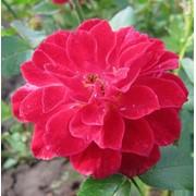 Розы бордюрные, Rote the Fairy фото