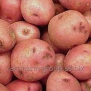 Семеня картофеля в Молдове, Ароза фото