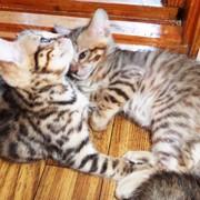 Бенгальские котята окраса розетка на золоте фото