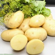 Картофель Леди Клер фото
