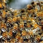 Пчелы и продукты пчеловодства фото