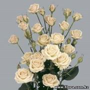 Роза кустарниковая Jana фото