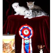 Котята.Продажа породистых котят. фото