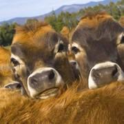 Заменитель Цельного Молока от 40 дня телятам фото