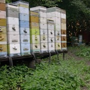 Пчёлы фото