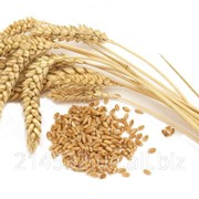 Анализ качества пшеницы фото