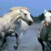 Лошадь племенная фото