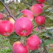 Яблоня Сябрына фото