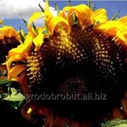 Семена подсолнечника Ягуар 2 фото