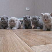Котята британци(шотландци) фото