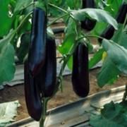 Семена баклажана Найт Леди F1 NongWoo Bio фото