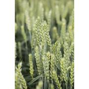 Пшениця озима Кубус фото