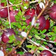 Саженцы клюквы крупноплодной фото