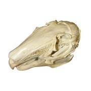 Модель черепа зайца (Lepus europaeus) фото