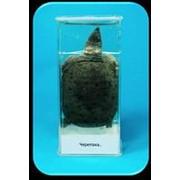 Noname Влажный препарат «Черепаха» арт. Ed17655 фото