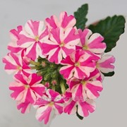 Вербена RiverDance Up Rose Star фото