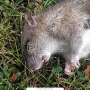 Уничтожение грызунов - борьба с грызунами фото