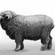 Бараны асканийской породы, маточное поголовье овец, асканийская порода овец фото
