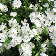 Флокс шиловидный. Садовые цветы, саженцы, черенки Киевская область, Киев, Украина фото