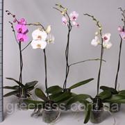 Орхидея Фаленопсис микс -- Phalaenopsis mixed фото