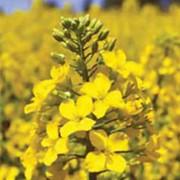 Озимый рапс Гибрисерф семена фото