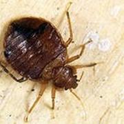 Профессиональная обработка жилых и нежилых объектов от постельных клопов, тараканов, блох, муравьёв и грызунов фото