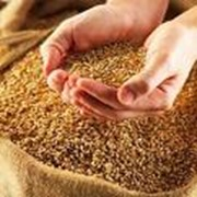 Зерно (зерновые): пшеница, гречка, овес, ячмень, кукуруза, горох, люпин, др. фото