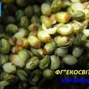 Лущеные семена конопли фото