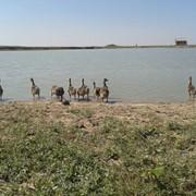 Птицеводство разведение гусей. фото