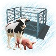 Весы для взвешивания скота и КРС фото