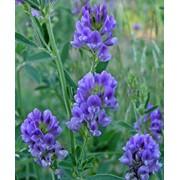 Семена- люцерна голубая фото