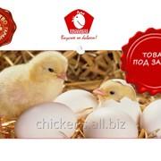 Выращивание цыплят в Узбекистане мин 50.000 голов фото