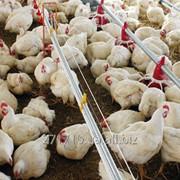 Цыплята бройлеры суточные КОББ-500 фото