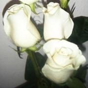 Розы белые Амелия фото