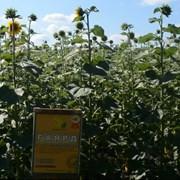 Семена подсолнечника Гаярд фото