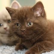 Шоколадные британские котята фото