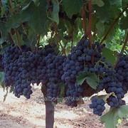 Виноград сорт Альфонс Лавалле фото