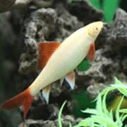 Рыбка Лабео Зеленый фото