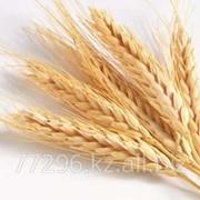 Пшеница внеклассная фото