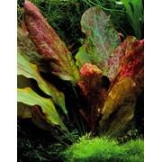 """Эхинодорус «Красное пламя» (Echinodorus sp. """"Ozelot Red Flame"""") фото"""