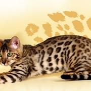 Продажа элитных пород котят фото